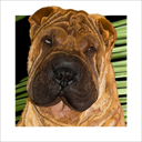 fawn chinese shar pei dog art and dog headshots, chinese shar pei dog pop art prints, dog paintings, pet portraits, dog headshots and pet prints in colorful original chinese shar pei dog art and fine art chinese shar pei dog prints by artists Jane Billman and Gregg Billman